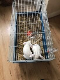 Rabbit male and female with cage