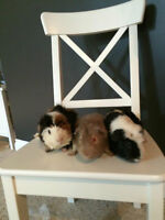 Male Guinea Pigs- With All Accessories