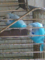 I have 3 female budgies birds for sale .