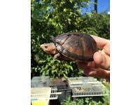 Red cheek mud turtle Kinosternon scorpioides cruentatum for sale