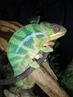 Panther Chameleon and terrarium