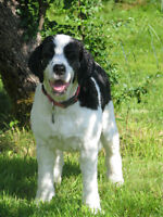 """Lucy"" Spaniel- Sheep dog mix"