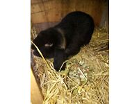 French lop free to collector