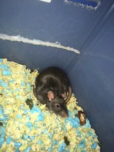 Baby rats for sale 1 week and they are ready Kawartha Lakes Peterborough Area image 2