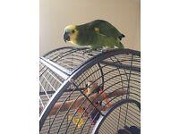 Blue front Amazon parrot for sale
