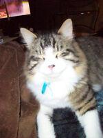 wanted male kitten