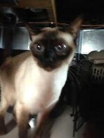 """""""Mia"""" - Female, spayed, Sealpoint Siamese cat"""