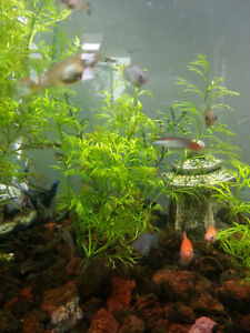 4 For $1 Endler Male Guppies & Fancy Tailed Male Guppy