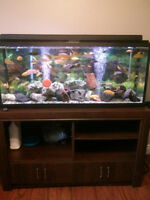 55 gallon Fluval Aquarium with stand and cichlids