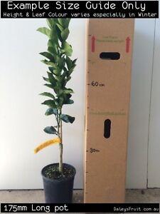 Dwarf Orange - Navelina (Citrus sinensis) Fruit Tree Plant