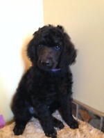 Exceptional CKC Standard Poodle Puppies- NEW PICTURES
