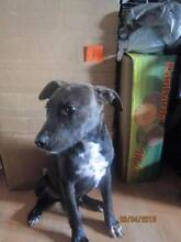 Pure Bred American Staffy Pups: Need Gone Lethbridge Park Blacktown Area Preview