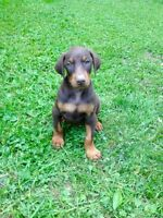 Brown & Rust Doberman Puppies