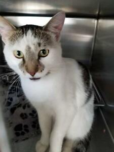 "Adult Male Cat - Domestic Short Hair: ""Zazz"""