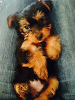 Yorkshire Terrier Puppies – one male and one female (RED DEER)