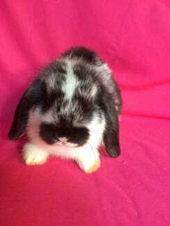 ♥♥♥ The Binky Bunny Mini Lop Package ♥♥♥ Londonderry Penrith Area Preview
