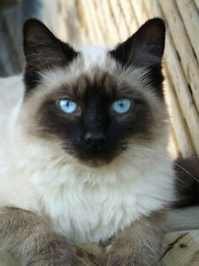 BALINESE (long haired Siamese) kittens HYPOALLERGENIC