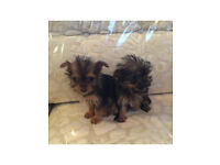 Chihuahua cross Yorkshire terrier known as Chalkies