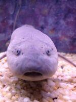 Freshwater Monster Oddball Aquarium Lung Fish