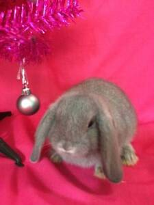 ♥♥♥ Quality Purebred Mini Lop Rabbits / Hutch Package deals ♥♥♥ Londonderry Penrith Area Preview