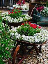 Old Wheelbarrow as a flower bed Baldivis Rockingham Area Preview