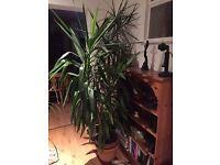 Large tall yucca house plant tree kidbrooke