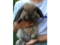 Bunny Rabbit 12 weeks old mini lop