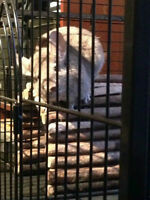 2 Chinchillas need a home