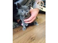 Grey female kitten