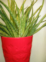 Red Patterned Ceramic with Aloe Vera Grouping in Plastic Pot