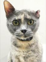 "Adult Female Cat - Dilute Tortoiseshell: ""Millie"""