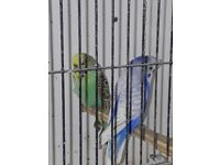 3 pairs of crested budgies
