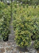 LARGE SIZED HEDGING Plants BACKYARD BLISS Lilly pilly ...