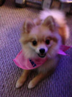 Pomeranian up for adoption -- Sold PPU --