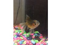 Goldfishes for sale