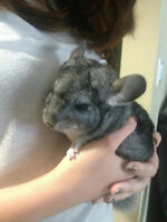 Baby Chinchillas For Sale Must Go