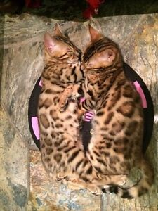 Chatons bengals