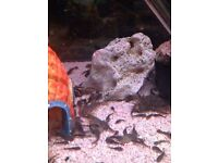 Pleco tropical fish
