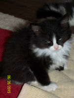 3 free maincoon kittens