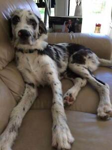 Great dane X Irish Wolfhound male undesexed Ormeau Gold Coast North Preview