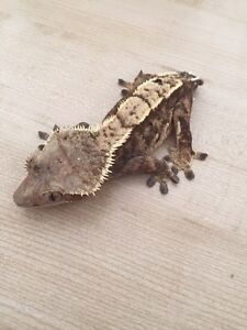 Adult Female Extreme Harlequin Pinstripe Crested Gecko London Ontario image 7
