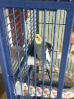 4 year old male cockatiel. LARGE CAGE CARRY CAGE AND FOOD..