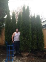 Cedar hedging for sale installed removed and much more