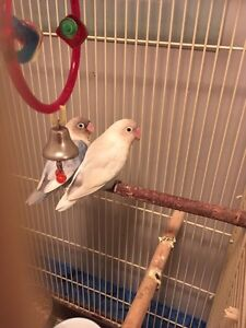 Pair of love bird with their babies