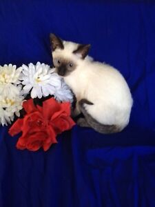CHATON SIAMOIS 2males SEAL POINT, CHOCOLAT point