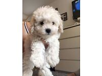 Male Bichon frise puppy's for sale