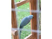 Ringneck parakeets for sale