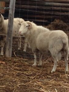 3 1/2 year old ram