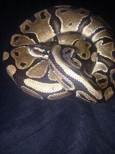 Two normal male ball pythons  Peterborough Peterborough Area image 1