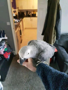 African grey female for sale